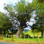 Near Mimiwhangata. We saw many of these old and beautiful trees, used by other plants as glamorous apartments. The trees have small magenta flowers.