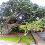 Ancient pohutukawa tree - amazing trunk