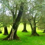 Ancient olive trees at Cornwall Park